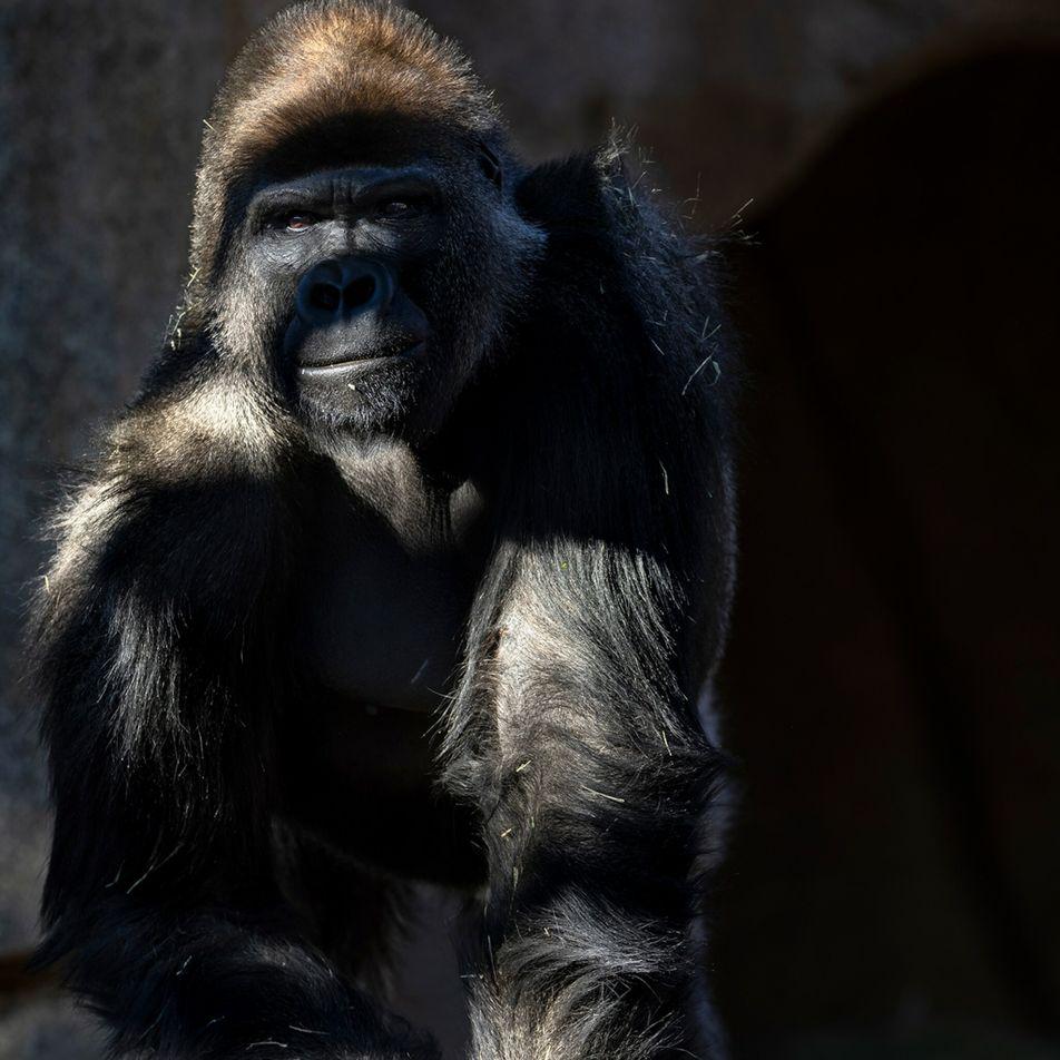 COVID-19 : des grands singes ont reçu le vaccin élaboré pour les animaux