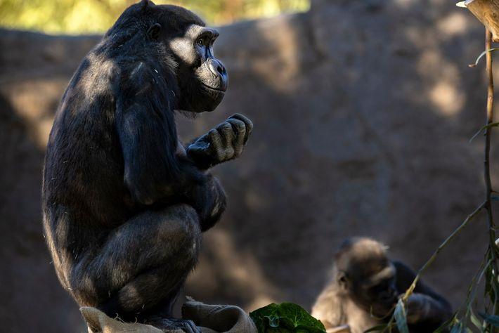San Diego Zoo gorilla troop 2