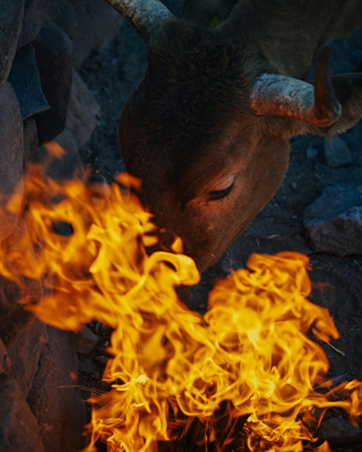 Un veau affamé essaie de manger des feuilles de palmier qui brûlent dans un feu au ...