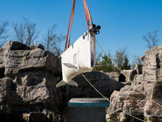 Transfert controversé de cinq bélugas du Canada vers les États-Unis