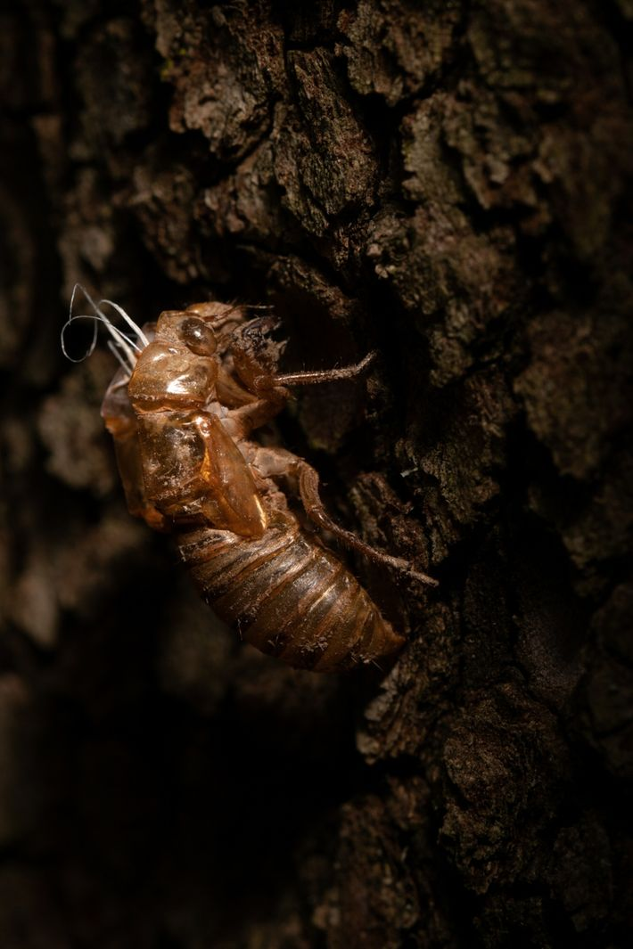 Cette carapace vide appartenant à une nymphe de cigale fait partie des milliers retrouvées dans les ...