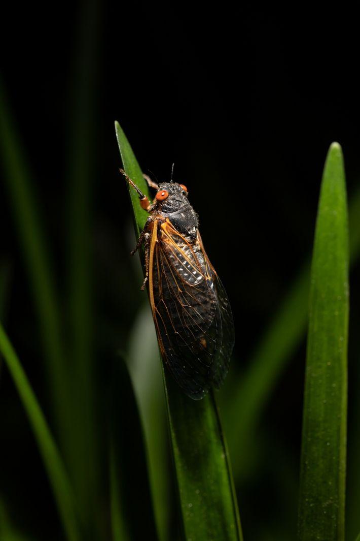À Washington, une cigale adulte grimpe sur un brin d'herbe pendant la nuit. Une fois sortis ...