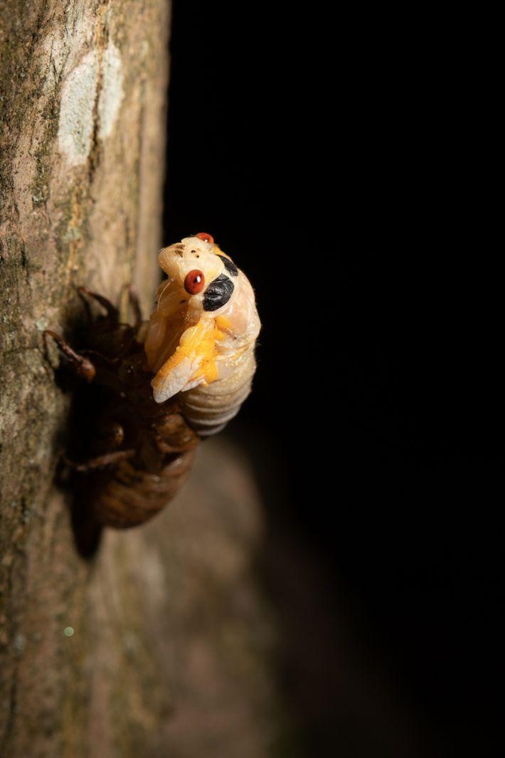 Une cigale se débarrasse de sa carapace marron et en sort sous l'apparence d'un adulte à ...