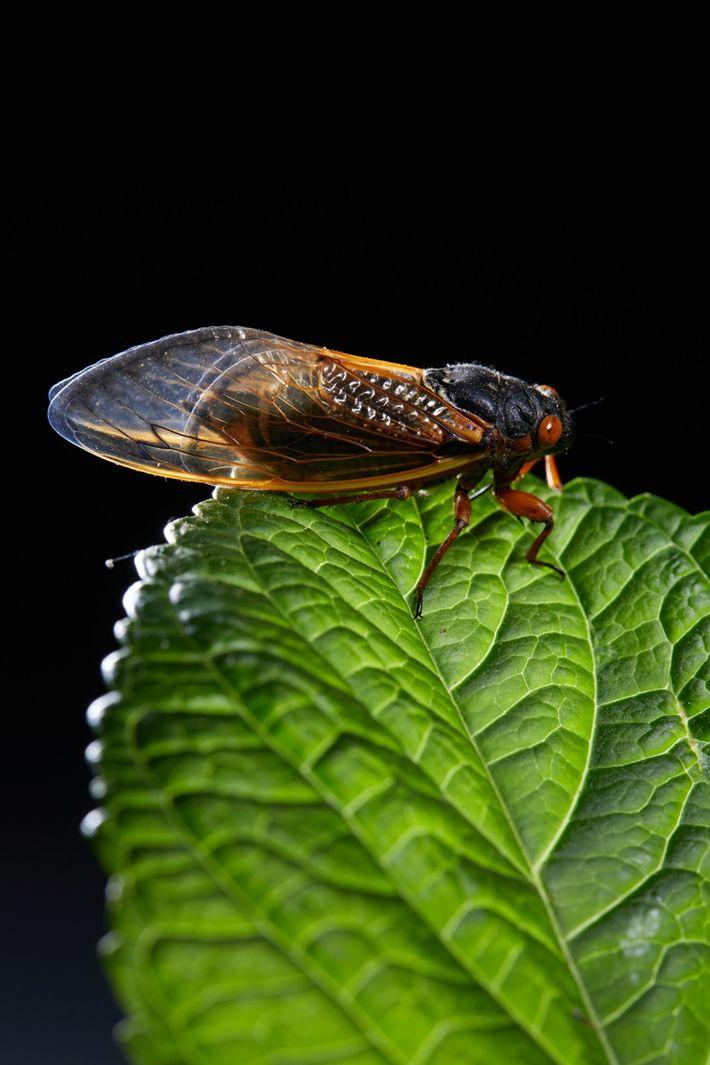 La lumière douce d'une lampe éclaire une cigale dans le studio de National Geographic. Ces insectes se ...
