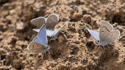 Ces 450 espèces de papillons sont menacées par le réchauffement climatique