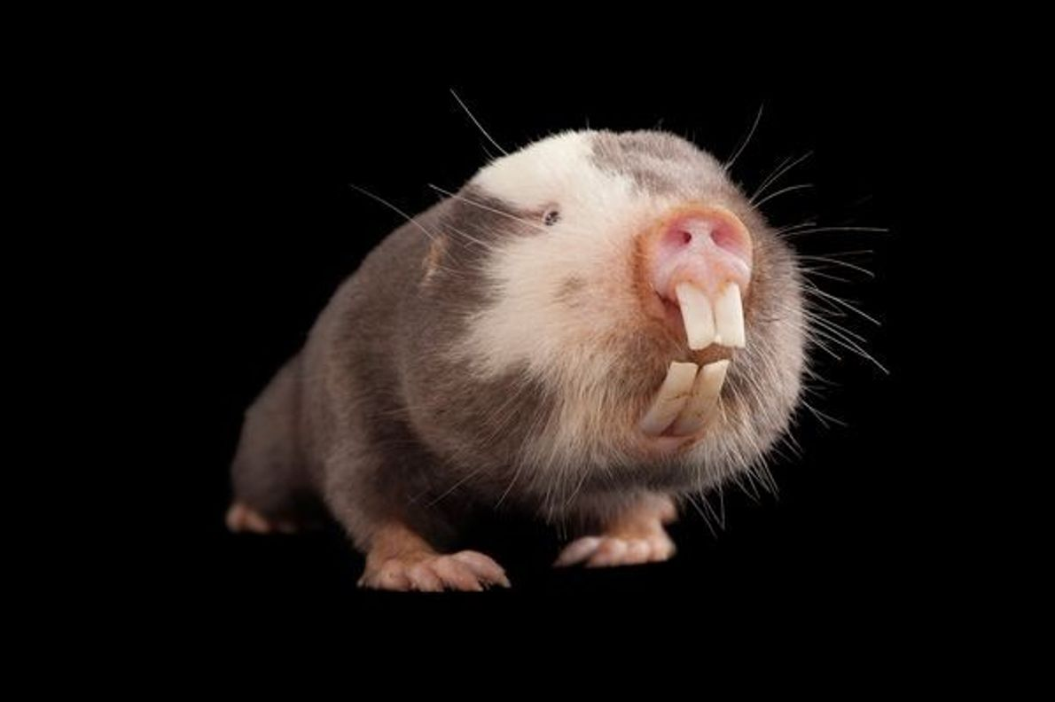 Le Rat-taupe de Damara  Statut : le moins inquiété ...