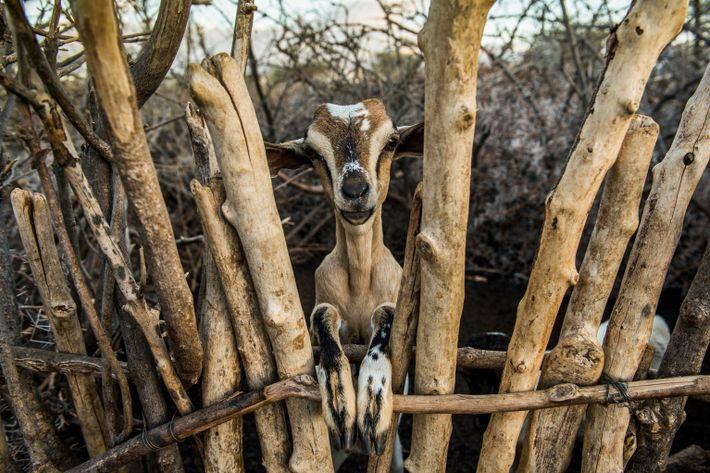 Les chèvres et le bétail forment la pierre angulaire du mode de vie des Samburu, dans ...