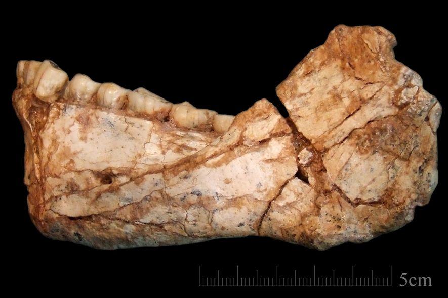Le spécimen Irhoud 11 est la première mandibule adulte presque complète jamais découverte. Elle a été ...