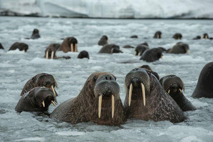 Des morses se reposent et mangent dans un chenal peu profond de l'île Northbrook, dans la ...