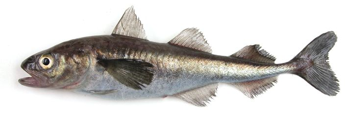 Une morue polaire (Boreogadus saida).