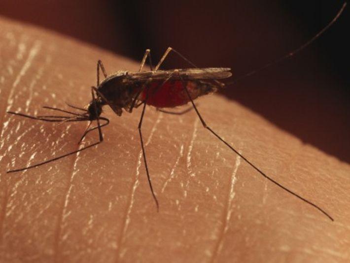 Ces espèces de moustiques, Anopheles quadrimaculata, étaient responsables de l'épidémie de malaria ayant eu lieu à ...