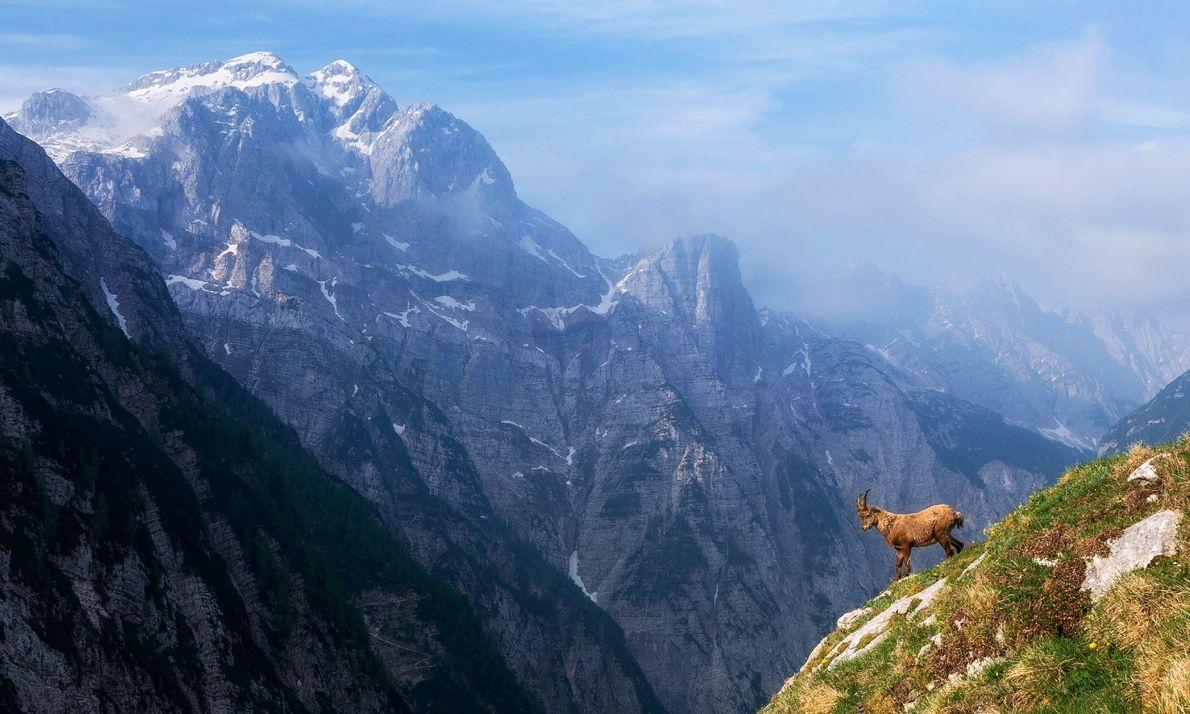 Un bouquetin des alpes se tient face à une pente escarpée dans les Alpes juliennes, une ...