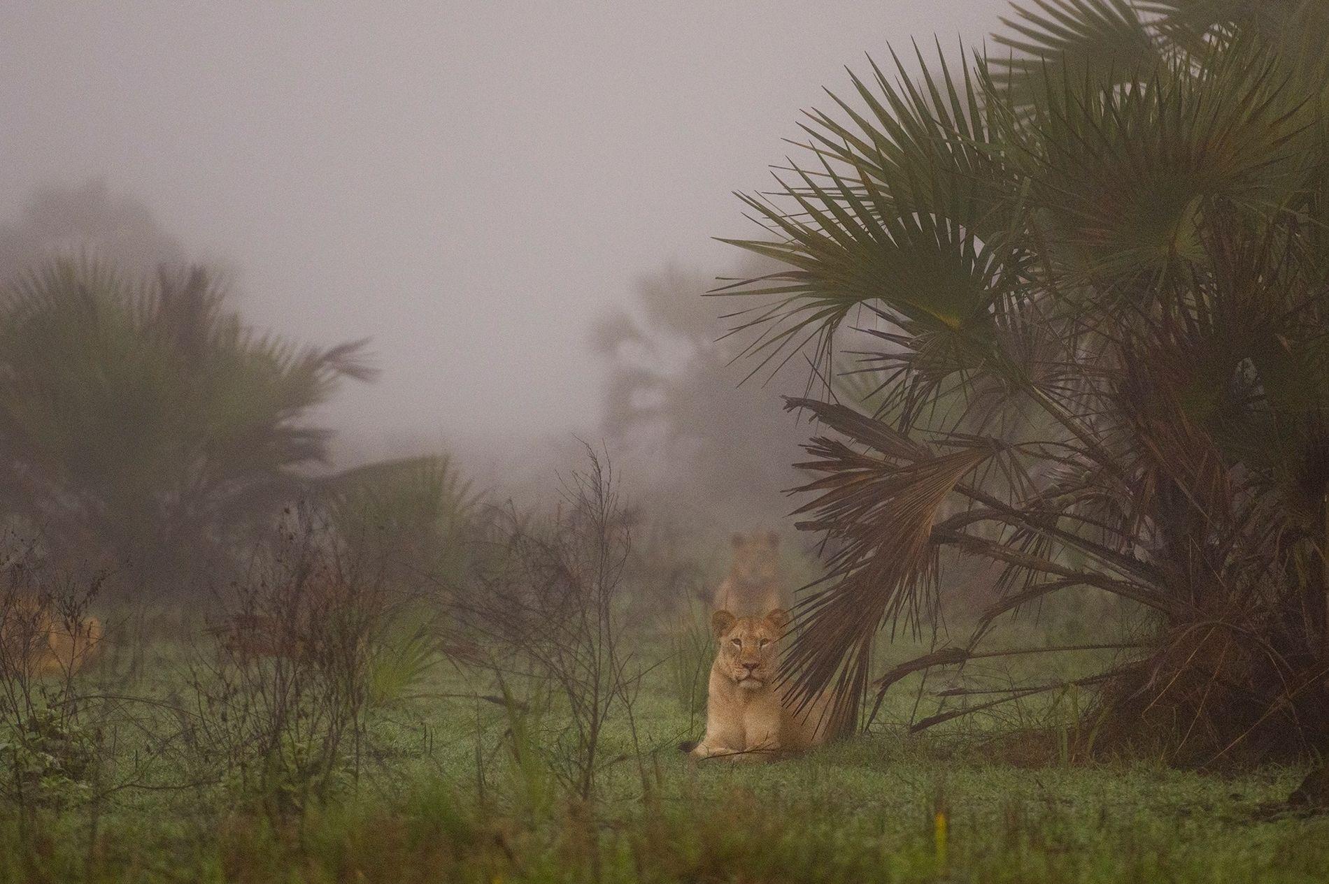 Après des années de guerre civile au Mozambique, les lions avaient quasiment disparu de la région ...