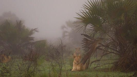 Mozambique : l'ambitieuse réintroduction des lions à l'état sauvage