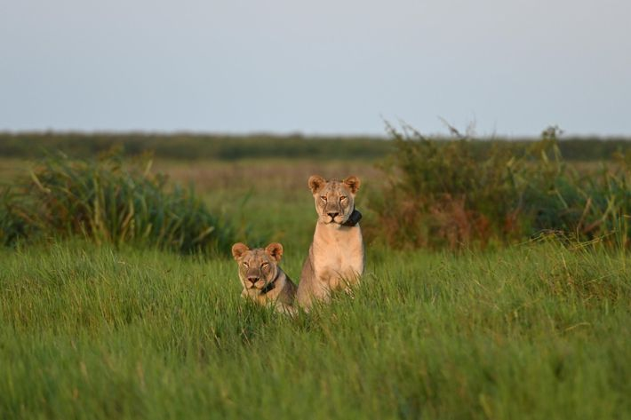 15 des 24 lions portent des colliers émetteurs. Il y a de grandes chances pour que ...
