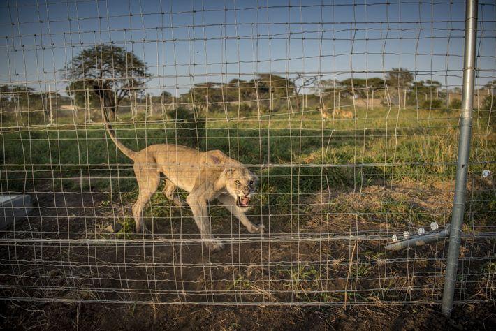 Les 24 lions, donnés par différentes réserves de l'Afrique du Sud, attendent dans un fortin de ...