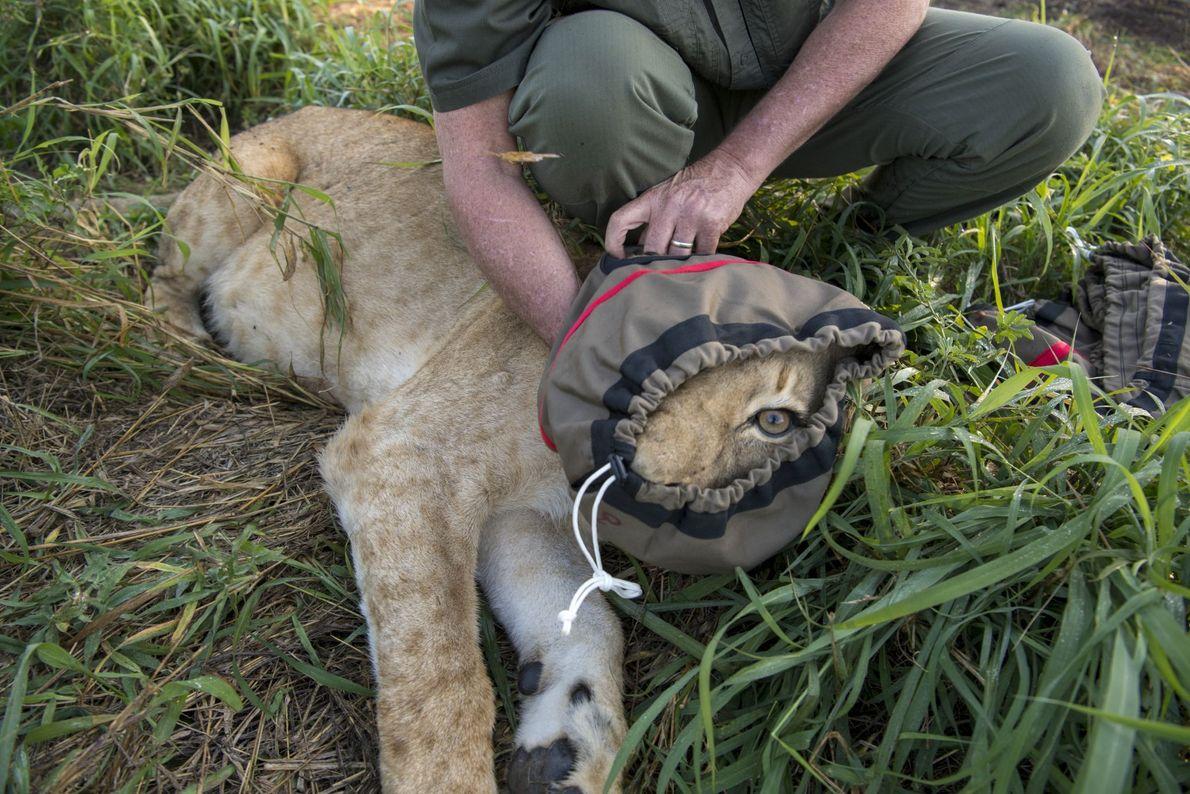 Dans ce que l'histoire retiendra comme le plus grand déplacement de lions sauvages, 24 de ces ...