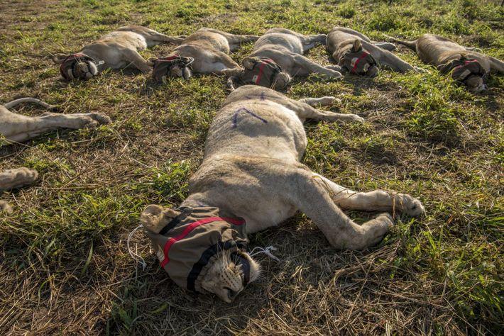 Les lions sont anesthésiés et marqués avec de la peinture aérosol pour les identifier en préparation ...
