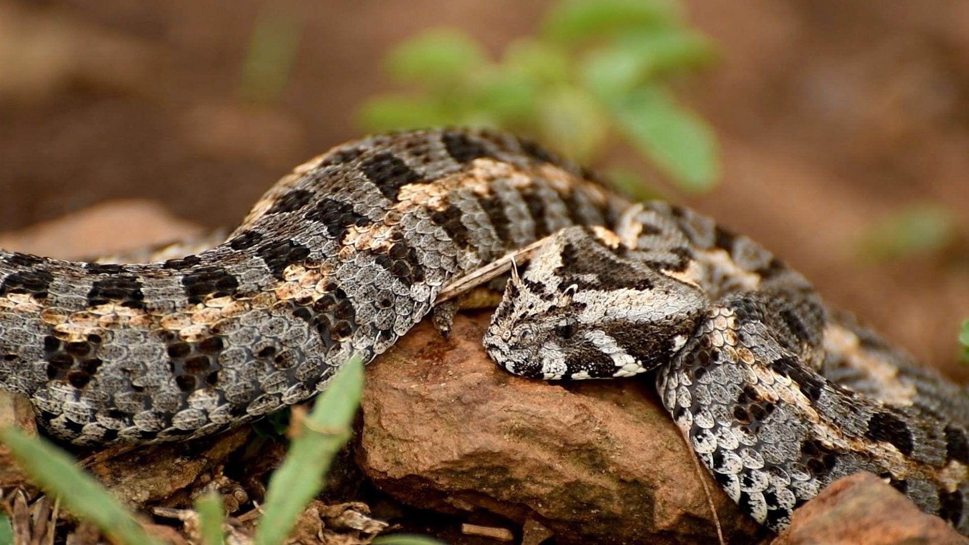 Le braconnage de vipères rares au Kenya