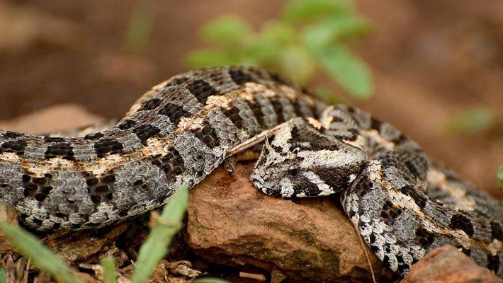 Le braconnage de vipères rares au Kenya 1