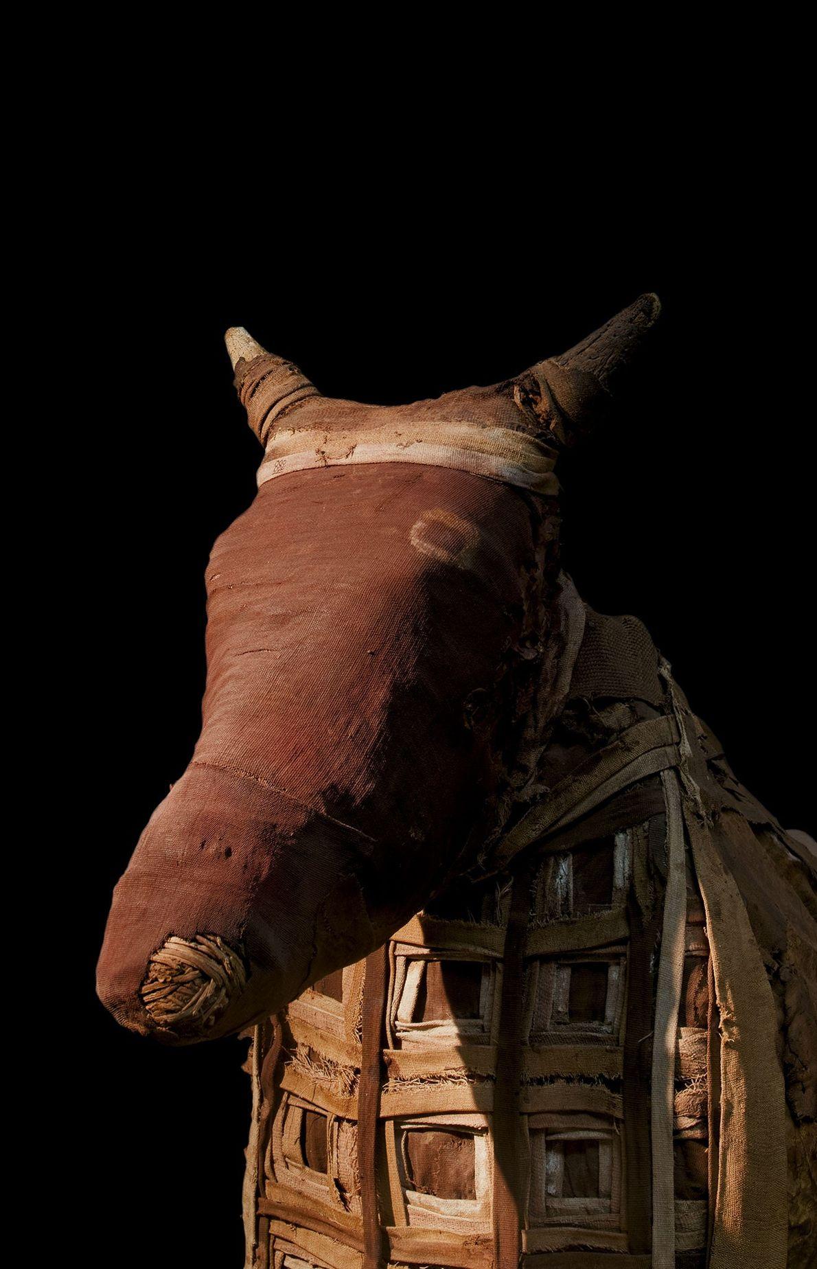 Le caractère sacré des trois taureaux s'étendait à leurs mères, qui furent préparées pour la vie ...