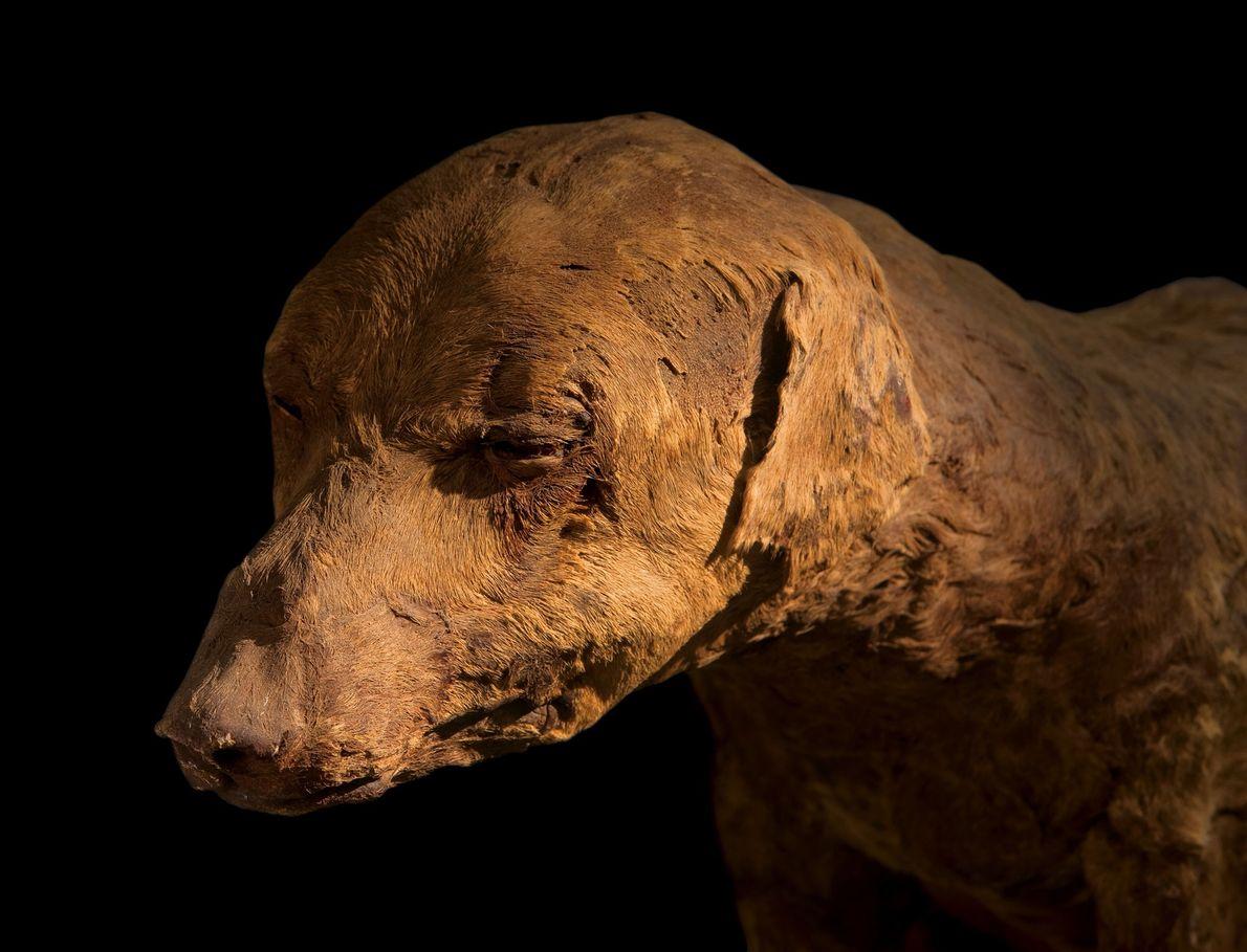 Remarquablement conservé, ce chien de chasse dont les bandages sont tombés il y a bien longtemps ...