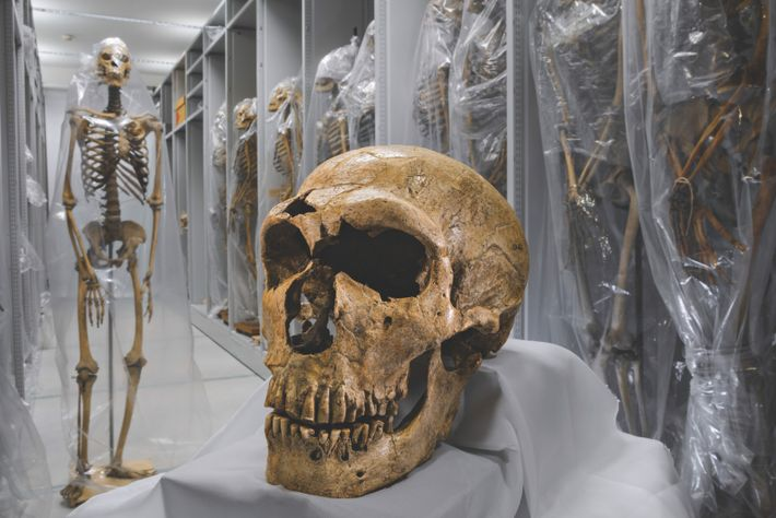 Au musée de l'Homme, à Paris, l'un des crânes de néandertaliens les plus complets jamais découverts ...