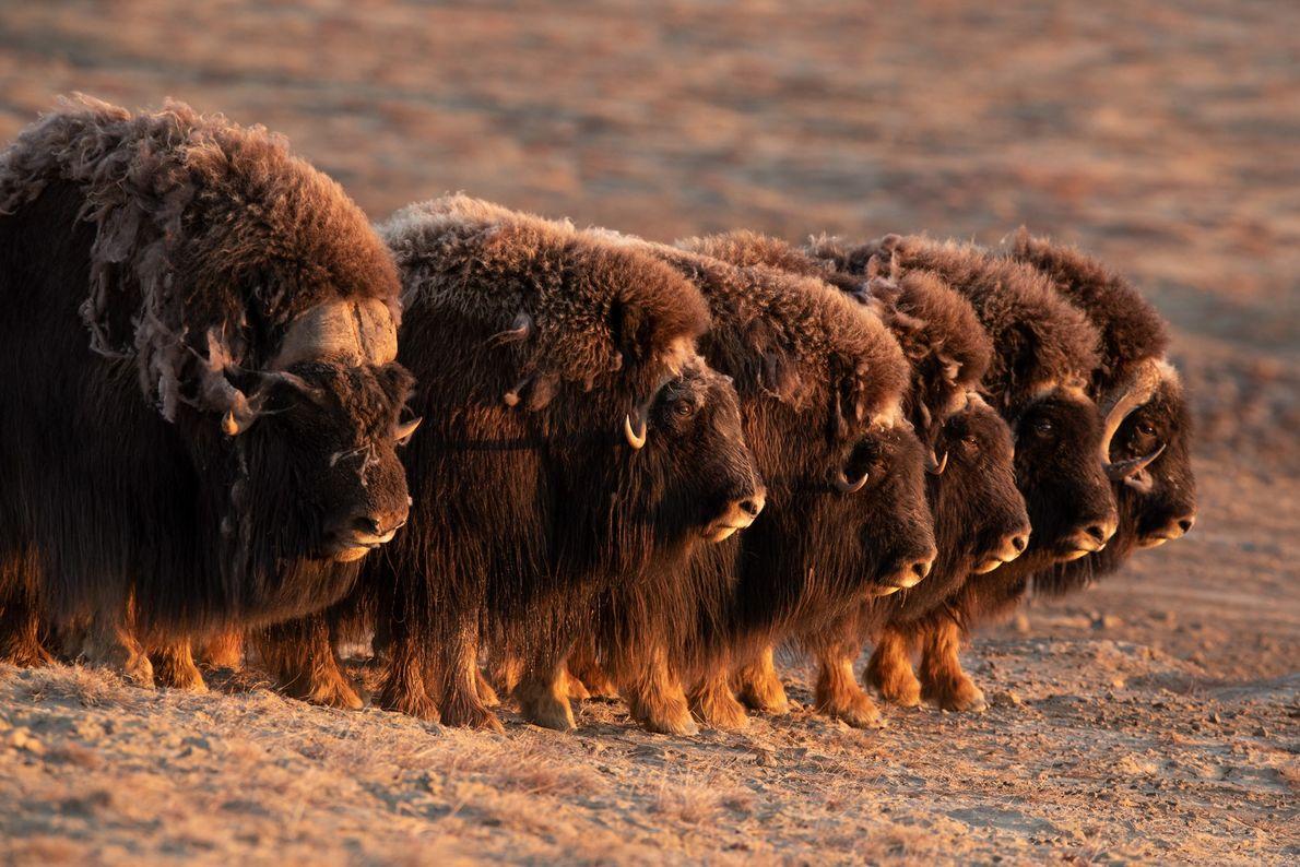 Les bœufs musqués sont l'une des rares espèces d'animaux de proie capables de collaborer pour former ...