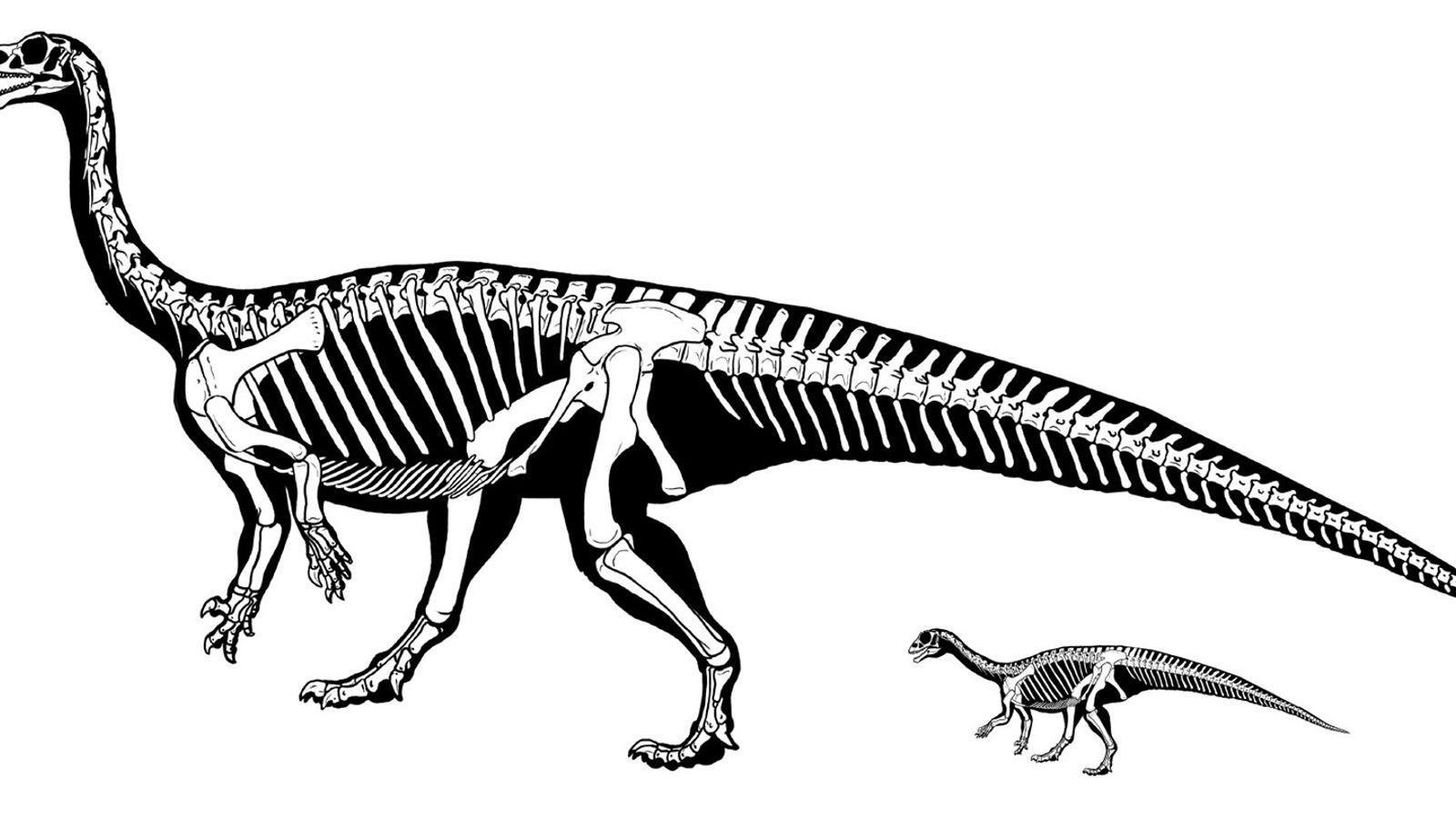 Dans son jeune âge, le dinosaure Mussaurus patagonicus marchait à quatre pattes. Mais en grandissant, son ...