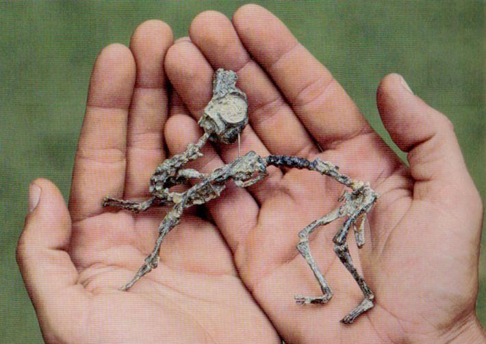 Un Mussaurus patagonicus  bébé était suffisamment petit pour tenir dans des mains humaines.