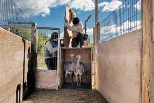 Un couple de jeunes nandous de Darwin, nés en captivité, arrive dans le refuge où il ...