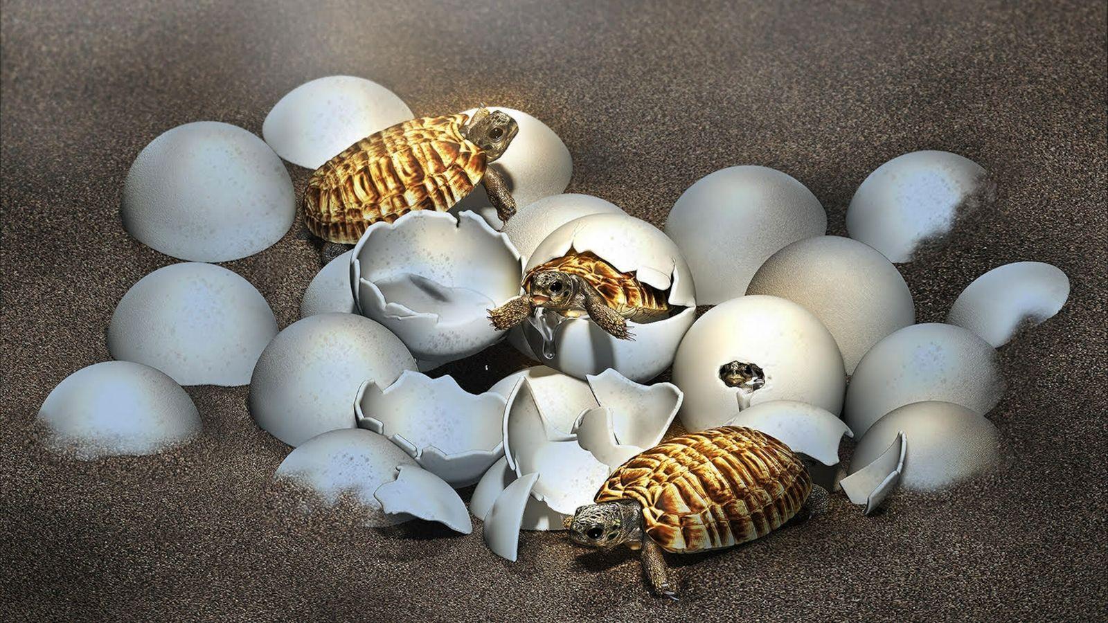 Un œuf fossilisé a été retrouvé en Chine. Il cachait une surprise : l'embryon d'une tortue géante ...