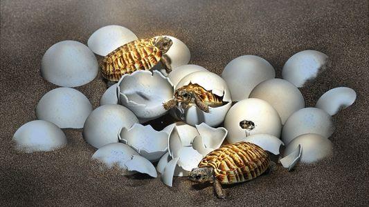 Découverte d'un embryon de tortue géante fossilisé depuis des dizaines de millions d'années
