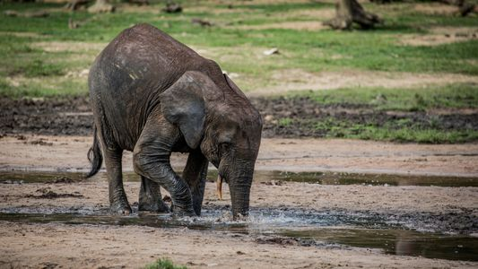 Reportage : Le dernier paradis des éléphants de forêt