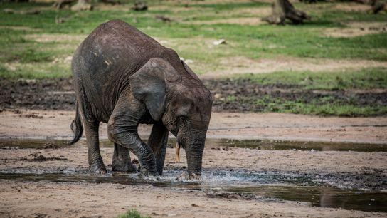 Un éléphant de forêt plonge sa trompe dans une flaque d'eau afin d'y puiser des sels ...