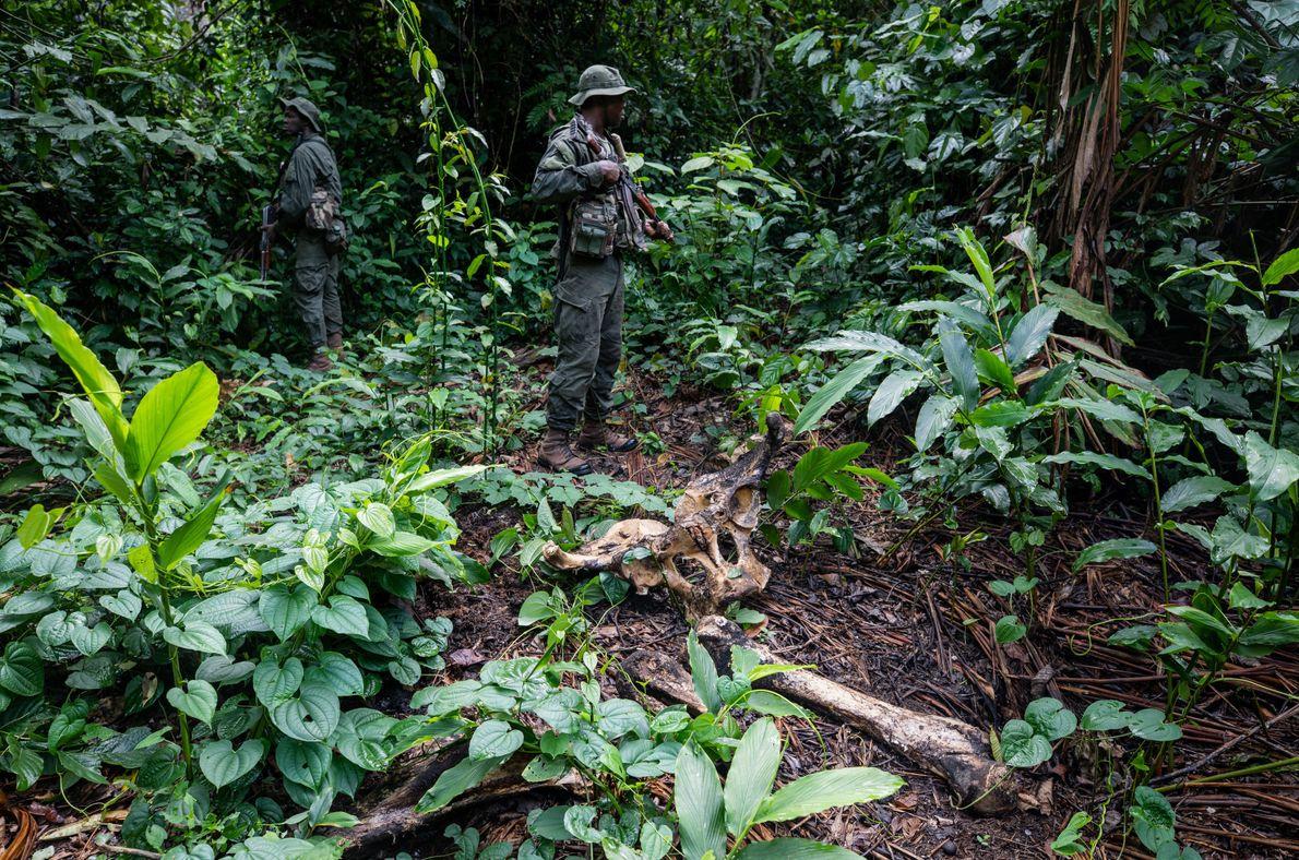 Des éco-gardes du WWF sécurisent une carcasse d'éléphant dans la réserve spéciale de Dzanga-Sangha en République ...