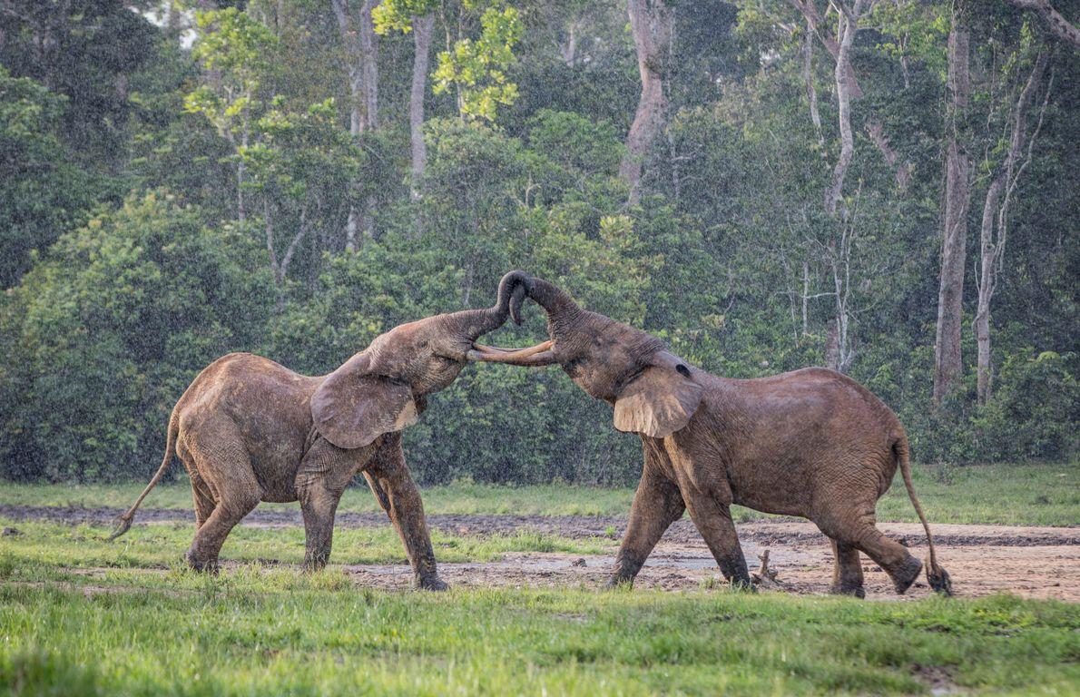 Deux éléphants de forêt mâles jouent sous la pluie dans le « baï » de Dzanga, en République ...