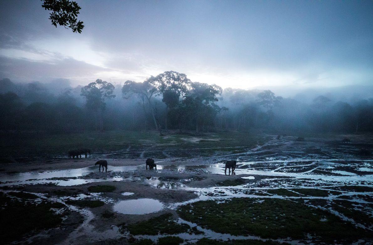 Plusieurs éléphants de forêt puisent des sels minéraux dans la brume matinale, dans la réserve de ...