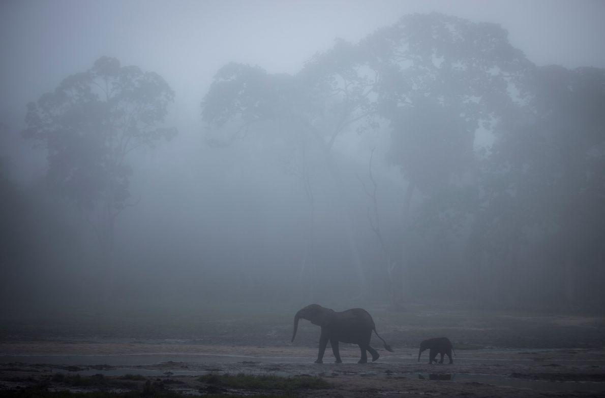 Une femelle éléphant et son éléphanteau traverse le « bai » de Dzanga plongé dans le brouillard au ...