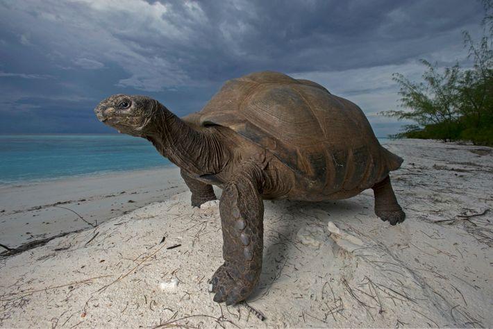 Une tortue géante d'Aldabra sur une dune dans l'île de Picard. Ces créatures peuvent atteindre un ...