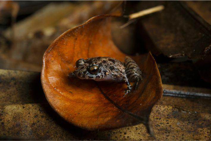 Une grenouille Sooglossidae sur une feuille tombée dans la réserve naturelle de la Vallée de Mai. ...
