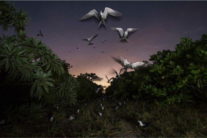 Des sternes fuligineuses retournent vers leur colonie sur l'île aux Oiseaux. Chaque printemps, 1,5 million d'entre elles ...