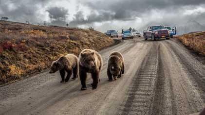 États-Unis : il est désormais légal de chasser les ours et les loups directement dans leur ...