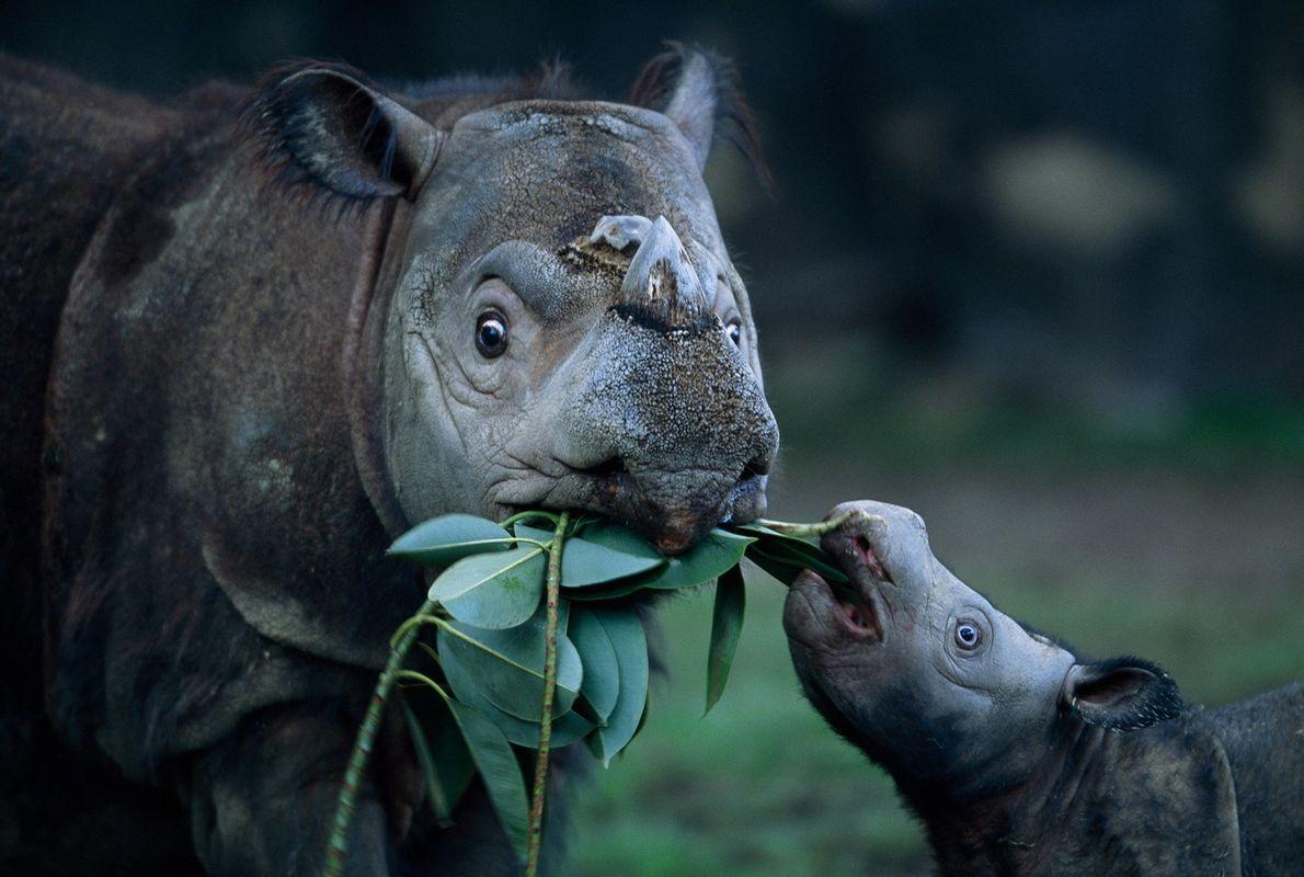 Moment de tendresse entre une mère Dicerorhinus sumatrensis et son petit au zoo de Cincinnati.  « Elle peut ...