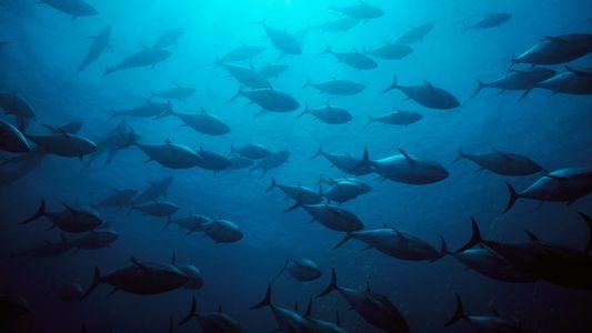 Ces quatre espèces de thons ne sont plus en danger d'extinction