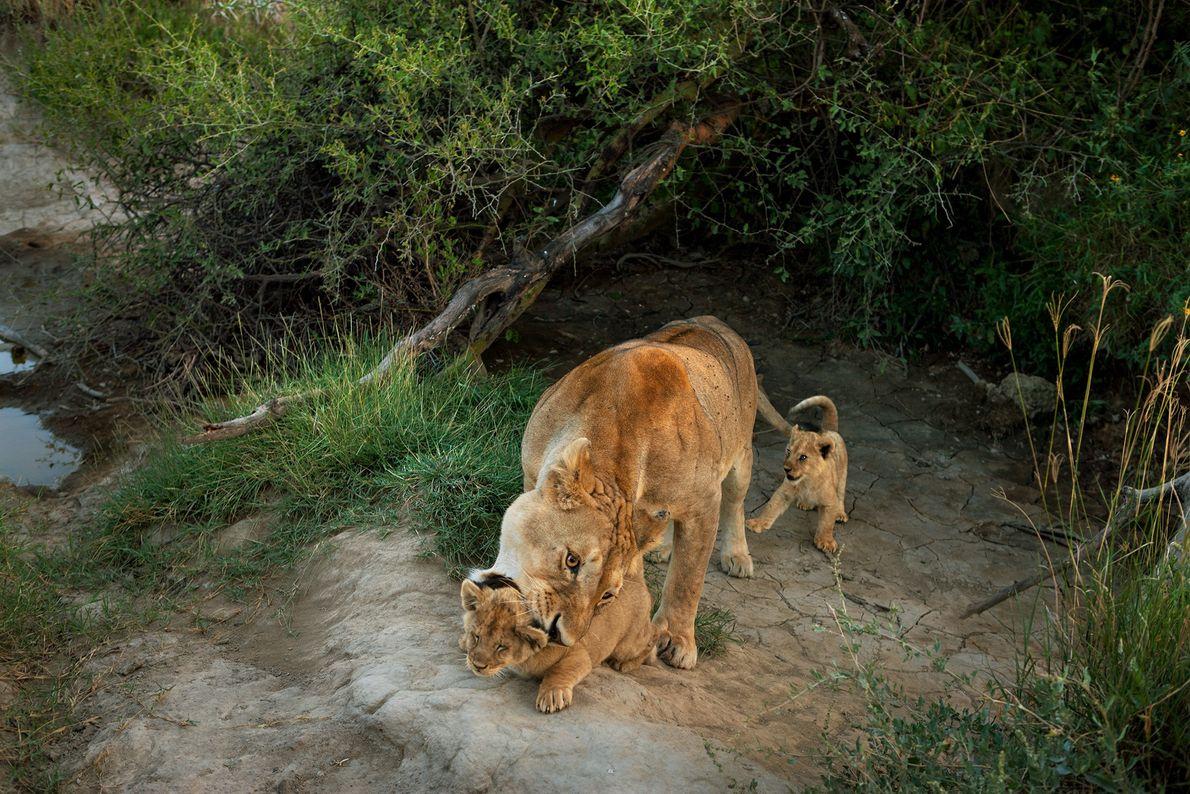 Contrairement à leurs congénères, les Panthera leo leos sont des animaux sociaux. Ils vivent dans des ...