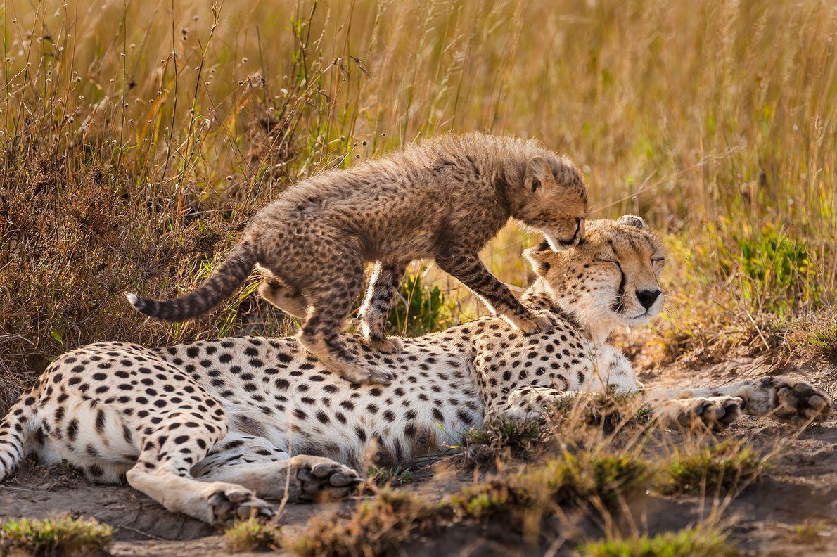 Être une mère guépard n'est pas de tout repos. Pendant les premières semaines qui suivent la ...