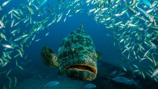 La Floride envisage d'autoriser la pêche des mérous goliath (Epinephelus itajara) en imposant une limite de ...