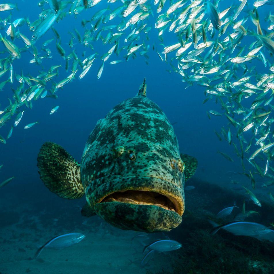 La pêche au mérou goliath de nouveau autorisée après 30 ans d'interdiction ?
