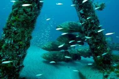 Les mérous goliath se regroupent dans le Warrior Reef. Ce récif est composé des ruines en ...